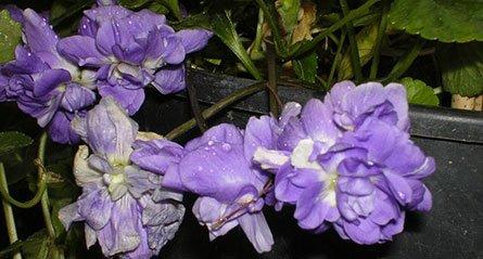 profumo-di-violetta