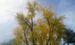 Chioma del Gingko Biloba (FILEminimizer)